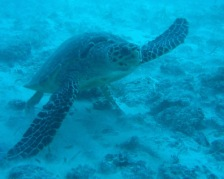 Turtle-Original